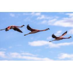 Flamingos - Laguna Chaxa